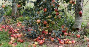 Что делать, если яблоня сбрасывает плоды до их созревания и основные причины