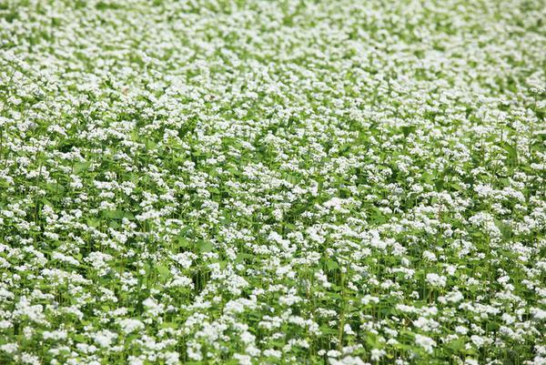 поле редьки сидераты