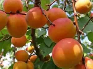Польза и вред абрикосов для организма человека, свойства и противопоказания