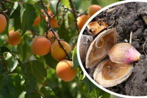Можно ли и как на даче из косточки вырастить абрикос, посадка и уход