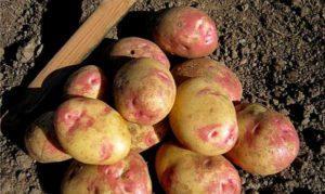 Описание картофеля сорта Иван да Марья, правила посадки и уход