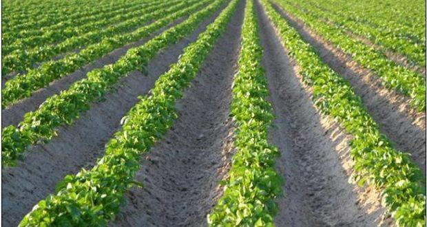поле картошки