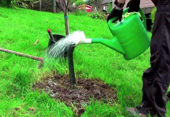 полив яблонь