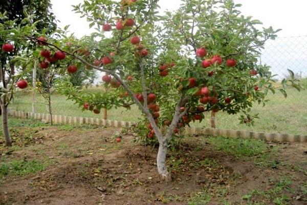 взрослая яблоня