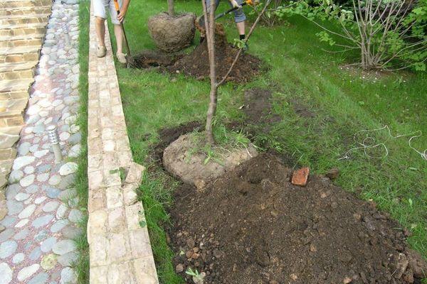 почва для яблони