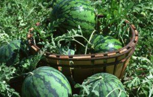 Как правильно прищипывать арбузы в открытом грунте и теплице, нужно ли