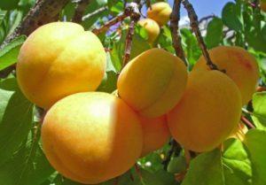 Как и можно ли привить абрикос и выбор подвоя, сроки и методы окулировки