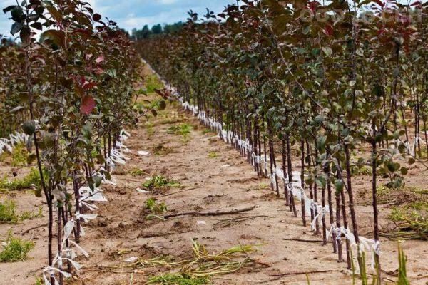яблоня в открытом грунте