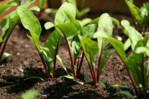 Как правильно прореживать свеклу и можно ли это делать, сроки и агротехника