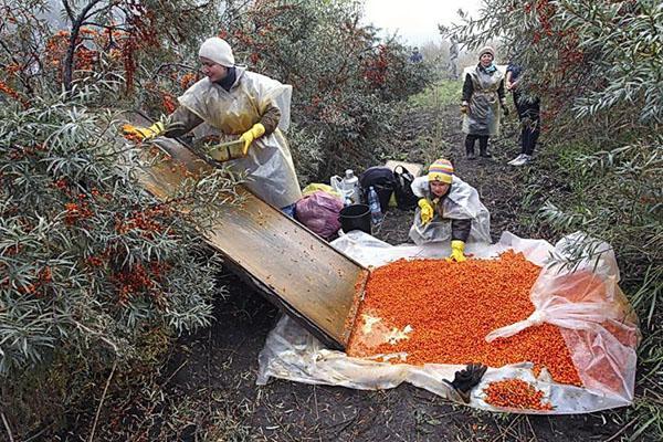 уборка ягод облепихи