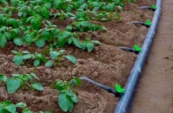 арбузы на даче полив капельным путем