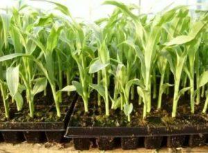 Нормы и правила посева кукурузы, как посадить и подготовить семена