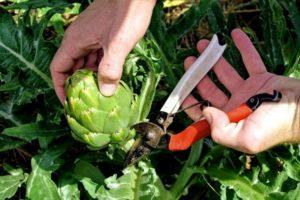 Как можно вырастить артишок на даче в открытом грунте, правила посадки и ухода