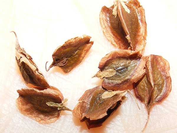 семена ревень