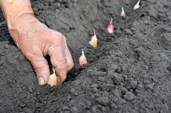 технология посадки чеснока