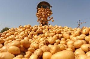 Как увеличить урожайность картофеля и получить большой выход с 1 га