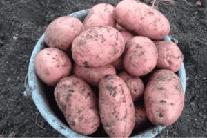 Описание и характеристика сорта картофеля Ильинский, посадка и уход