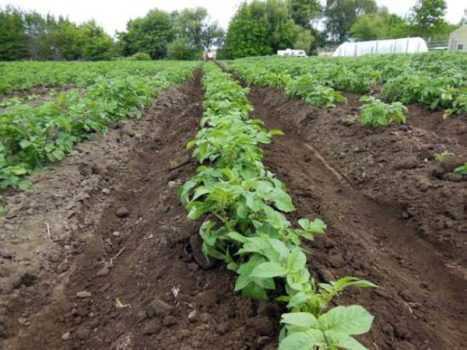 огород картошки