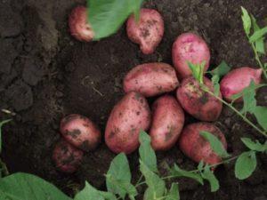 Описание и характеристики картофеля сорта Любава, посадка и уход