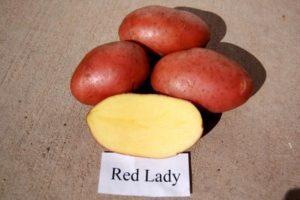 Описание и характеристика сорта картофеля Ред леди, особенности посадки и ухода