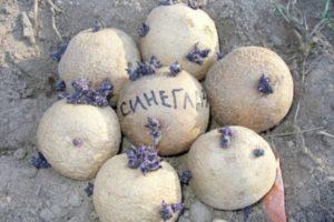 Характеристики и описание картофеля сорта Синеглазка, посадка и уход