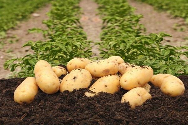 картофель сказка