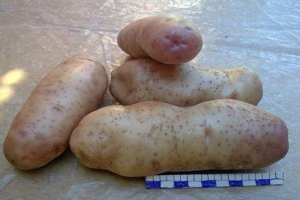 картофель сорокодневка