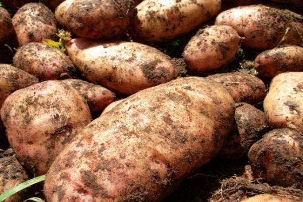 картофель утро раннее