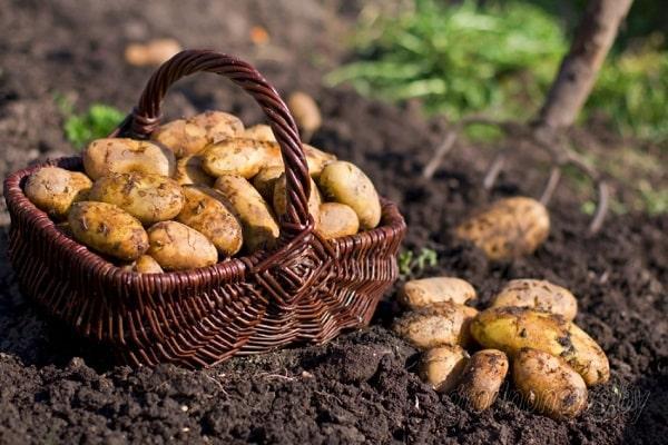 корзина картошки зарочка