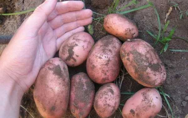 сорт картофеля