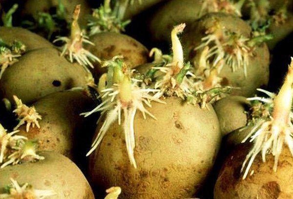 пророщенная картошка