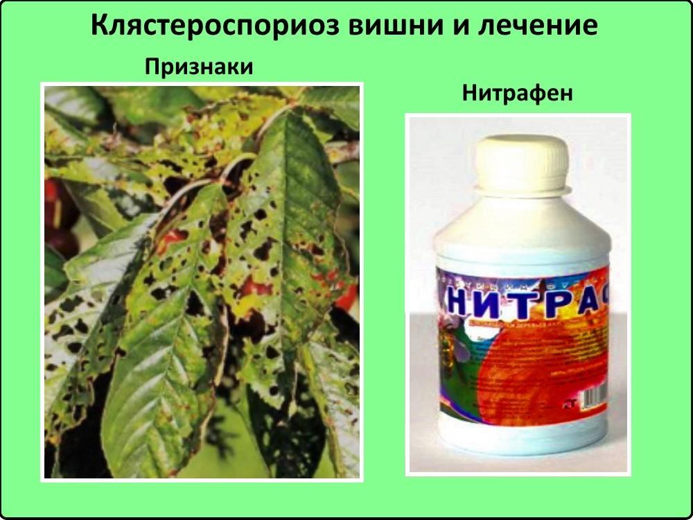 лечение вишни деревьев