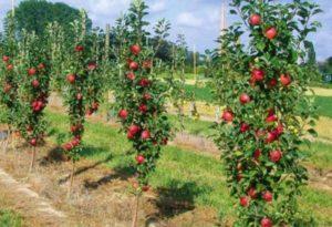 Описание 10 лучших сортов колоновидных яблонь, посадка и уход