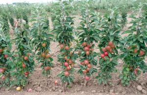 Описание и характеристика колоновидной яблони Президент, посадка и уход