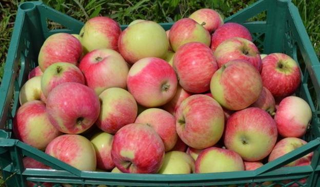много яблонь