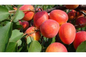 Посадка и уход за абрикосом в средней полосе, описание лучших сортов