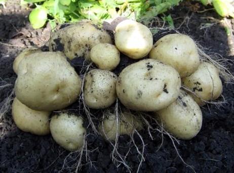 картошка ласунок