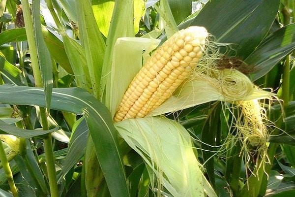 севооборот кукурузы