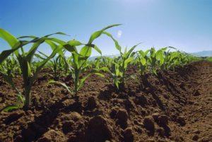 Методы и правила системной предпосевной обработки почвы под кукурузу