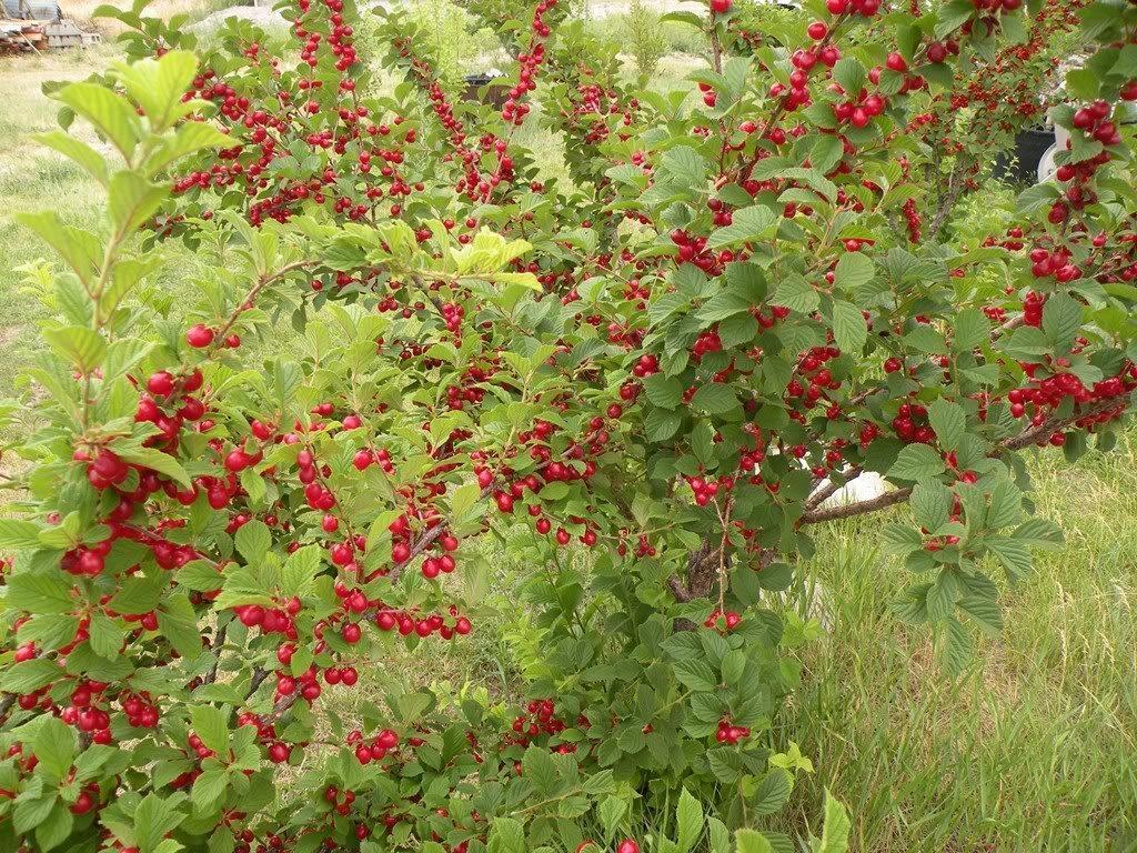 кустова вишня