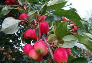 Описание и разновидности яблок сорта ранетки, как выглядят и когда созревают