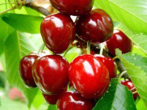 Характеристика и описание вишни сорта Тургеневка, посадка и уход