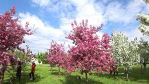 Описание декоративной яблони Недзвецкого, технология выращивания