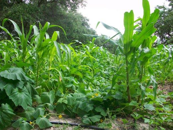 соседи кукурузы