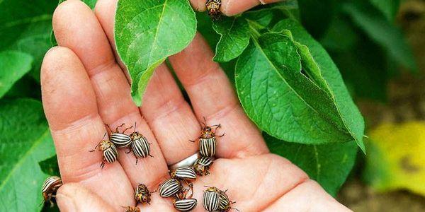 колорадские жуки