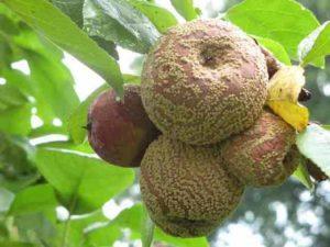 Что делать, если яблоки гниют прямо на дереве, причины и меры борьбы