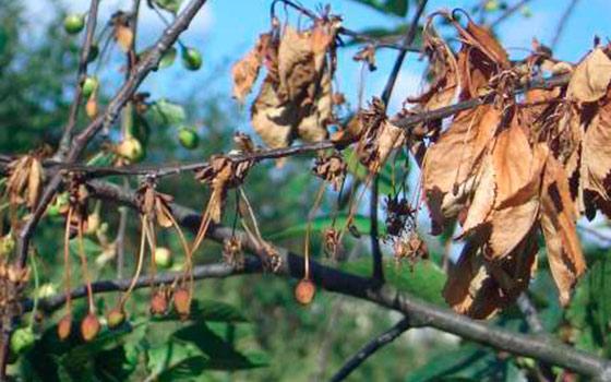 Монилиоз на вишне