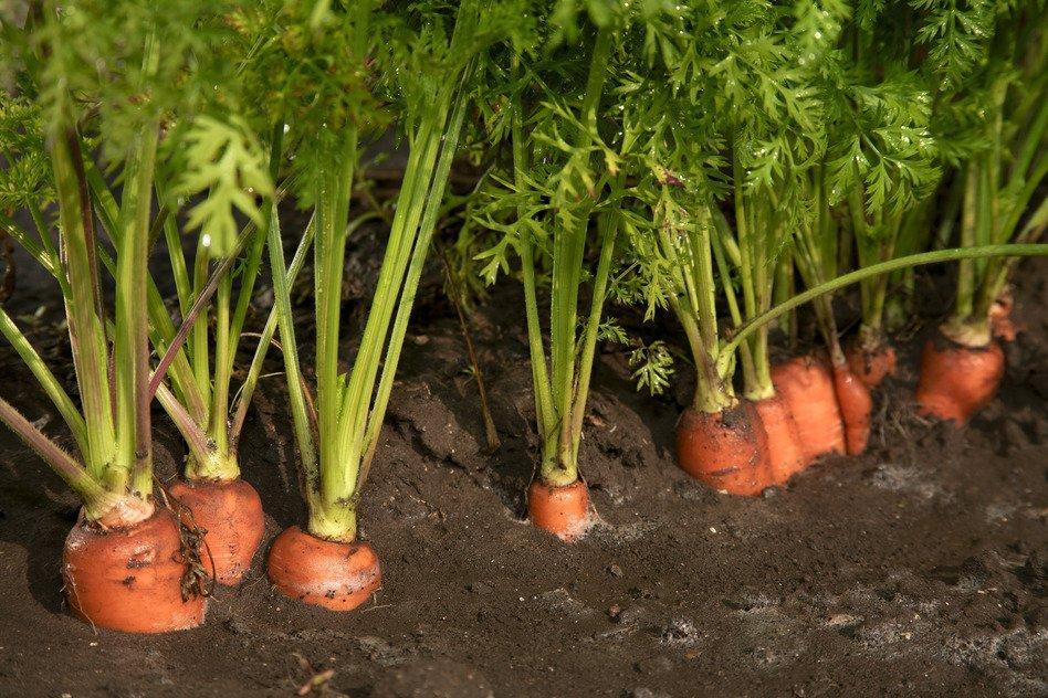 морковка в огороде
