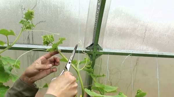 выращивание патиссона