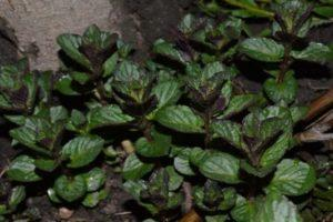 Описание и общие сведения о мяте шоколадной, посадка и уход за растением